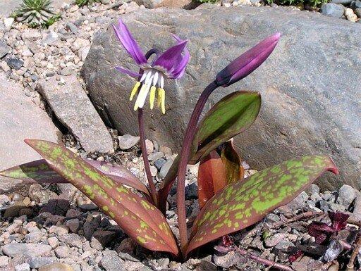 kandik-cvetok